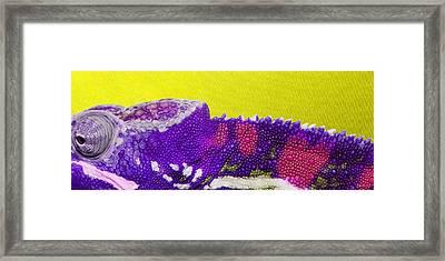 Purple Chameleon On Yellow Framed Print by Serge Averbukh