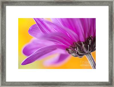 Purple Chrysanthemum Closeup Framed Print