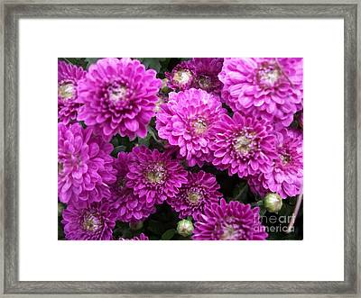Purple Chrysanthemums Print Framed Print