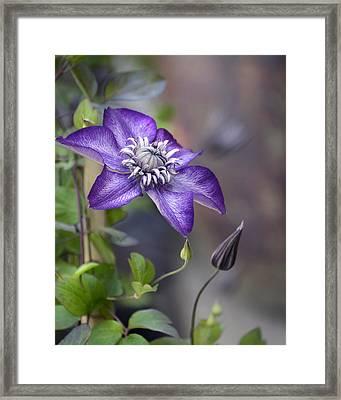 Purple Climber Framed Print