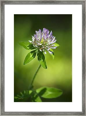 Purple Clover Flower Framed Print by Christina Rollo