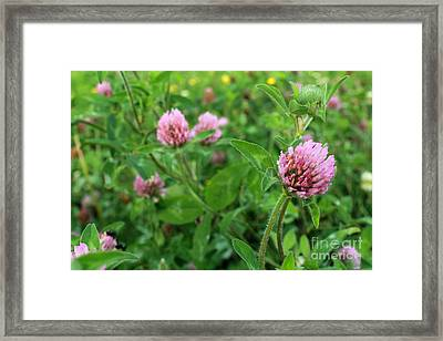 Purple Clover Wild Flower In Midwest United States Meadow Framed Print by Adam Long