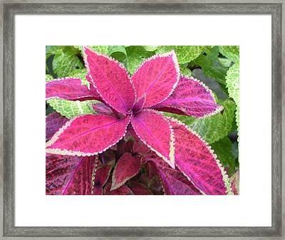 Purple Coleus Framed Print by Dusty Reed