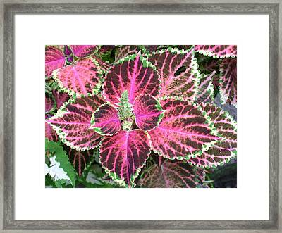 Purple Coleus With Seeds Framed Print by Dusty Reed
