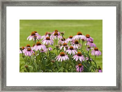 Purple Cone Flowers Framed Print
