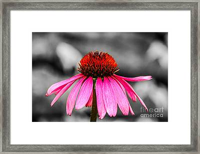 Purple Coneflower - Sc Framed Print