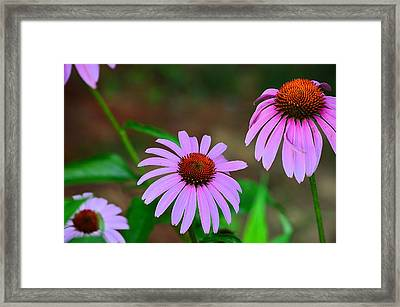 Purple Coneflower - Echinacea Framed Print