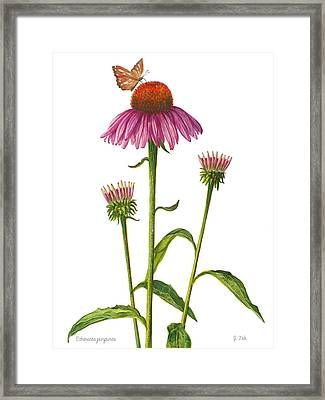 Purple Coneflower - Echinacea Purpurea  Framed Print by Janet  Zeh