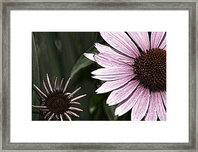 Purple Coneflower Imperfection Framed Print
