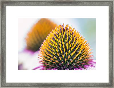 Purple Coneflower Visions Framed Print