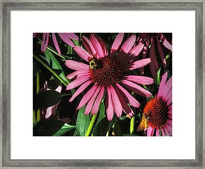 Purple Coneflowers 003 Framed Print by Lance Vaughn
