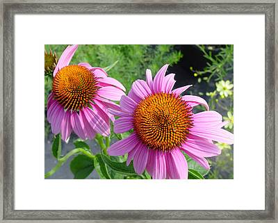 Purple Coneflowers Framed Print by Suzanne Gaff