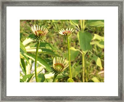 Framed Print featuring the photograph Purple Conehead Trio by Belinda Lee