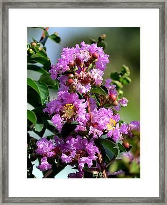 Purple Crape Myrtle Framed Print