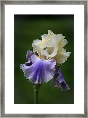 Framed Print featuring the photograph Purple Cream Bearded Iris by Patti Deters