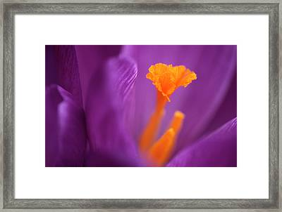 Purple Crocus Abstract Framed Print