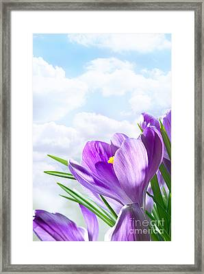 Purple Crocus Framed Print by Boon Mee