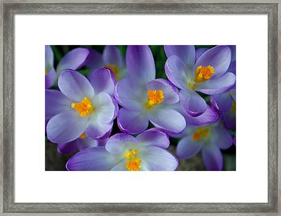 Purple Crocus Gems Framed Print