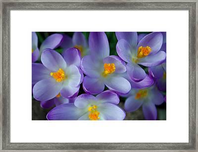 Purple Crocus Gems Framed Print