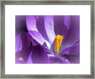 Purple Crocuses Before Spring Framed Print