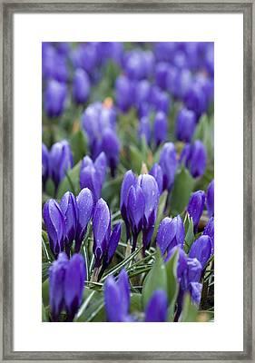 Purple Crocuses Framed Print