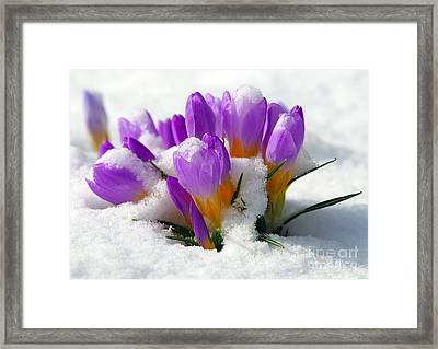 Purple Crocuses In The Snow Framed Print