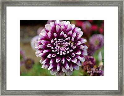 Framed Print featuring the photograph Purple Dahlia White Tips by Scott Lyons