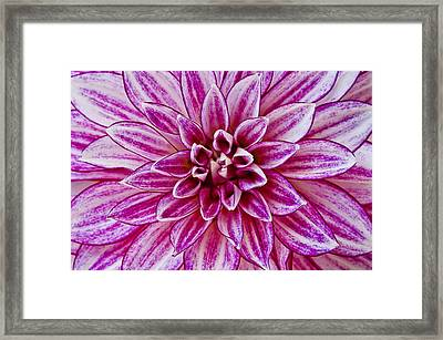 Purple Dahlia Framed Print