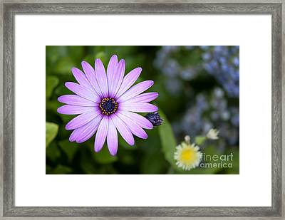 Purple Daisy Framed Print by Design Windmill