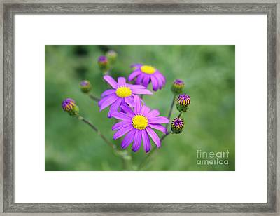 Purple Daisy  Framed Print by Neil Overy