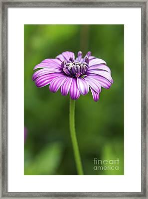 Purple Daisy Framed Print by Pamela Gail Torres