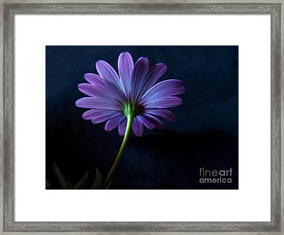 Purple Daisy Framed Print by Trena Mara