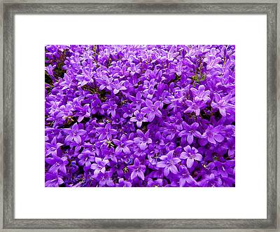 Purple Dalmatian Bellflower Framed Print by Vanessa Thomas