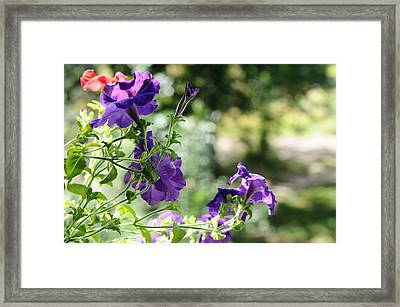Purple Delight. Petunia Bloom Framed Print by Jenny Rainbow