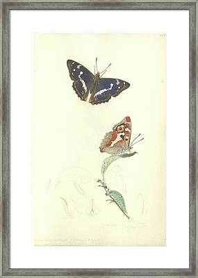 Purple Emperor Butterfly Framed Print by Natural History Museum, London/science Photo Library