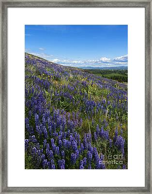 Purple Fields Framed Print by Mike  Dawson