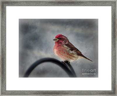 Framed Print featuring the photograph Purple Finch by Brenda Bostic