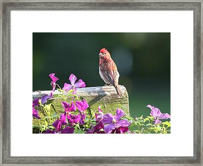 Purple Finch By Clematis Framed Print