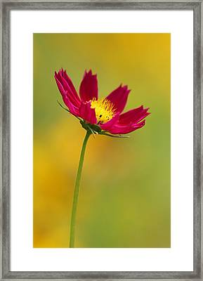 Purple Floral Over Yellow  Framed Print