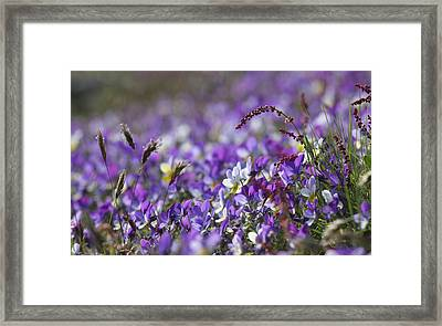Purple Flower Bed Framed Print