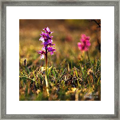 Framed Print featuring the photograph Purple Flower In Back Light by Kennerth and Birgitta Kullman