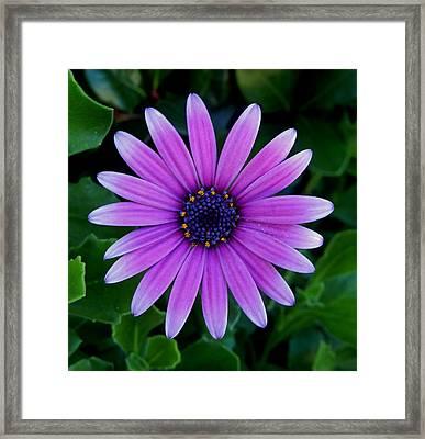 Purple Flower Framed Print by Pamela Walton