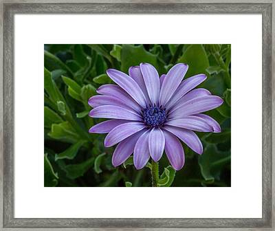 Framed Print featuring the photograph Purple Flower  by Trace Kittrell