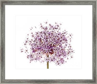 Purple Flowering Onion Framed Print by Elena Elisseeva