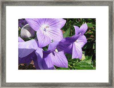 Purple Flowers Framed Print by Betsy Cotton