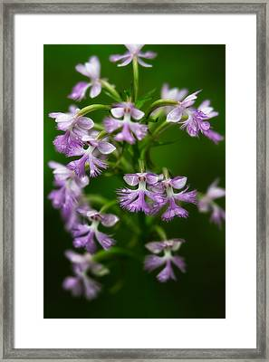 Purple Fringed Orchid Framed Print by Jeff Sinon