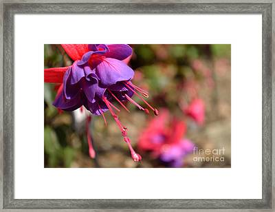 Framed Print featuring the photograph Purple Fuchsia by Scott Lyons