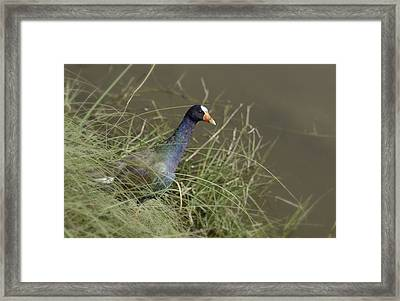 Framed Print featuring the photograph Purple Gallinule by Betty Depee