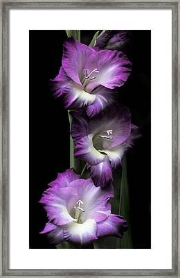Purple Gladiola Flowers Evening Light Framed Print by Jennie Marie Schell