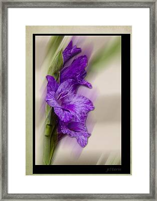 Purple Gladiolus Bloom Framed Print